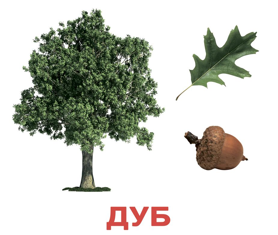 Береза дерево картинки для детей